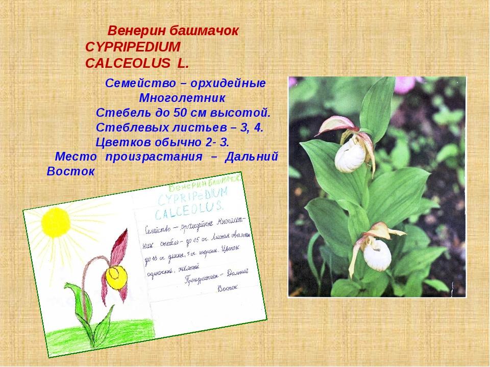 Венерин башмачок СYPRIPEDIUM CALCEOLUS L. Семейство – орхидейные Многолетник...