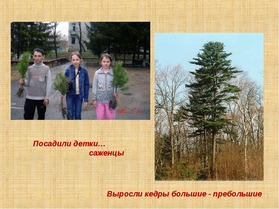 Посадили детки… саженцы Выросли кедры большие - пребольшие