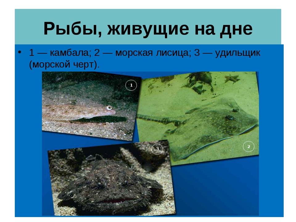 Рыбы, живущие на дне 1 — камбала; 2 — морская лисица; 3 — удильщик (морской ч...