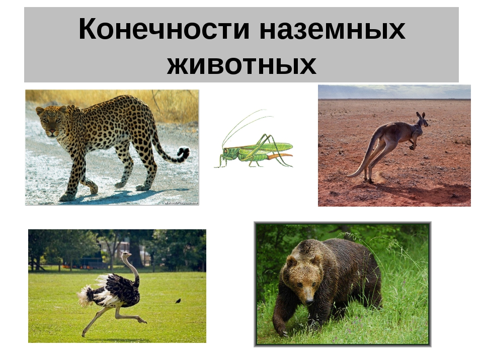 Конечности наземных животных