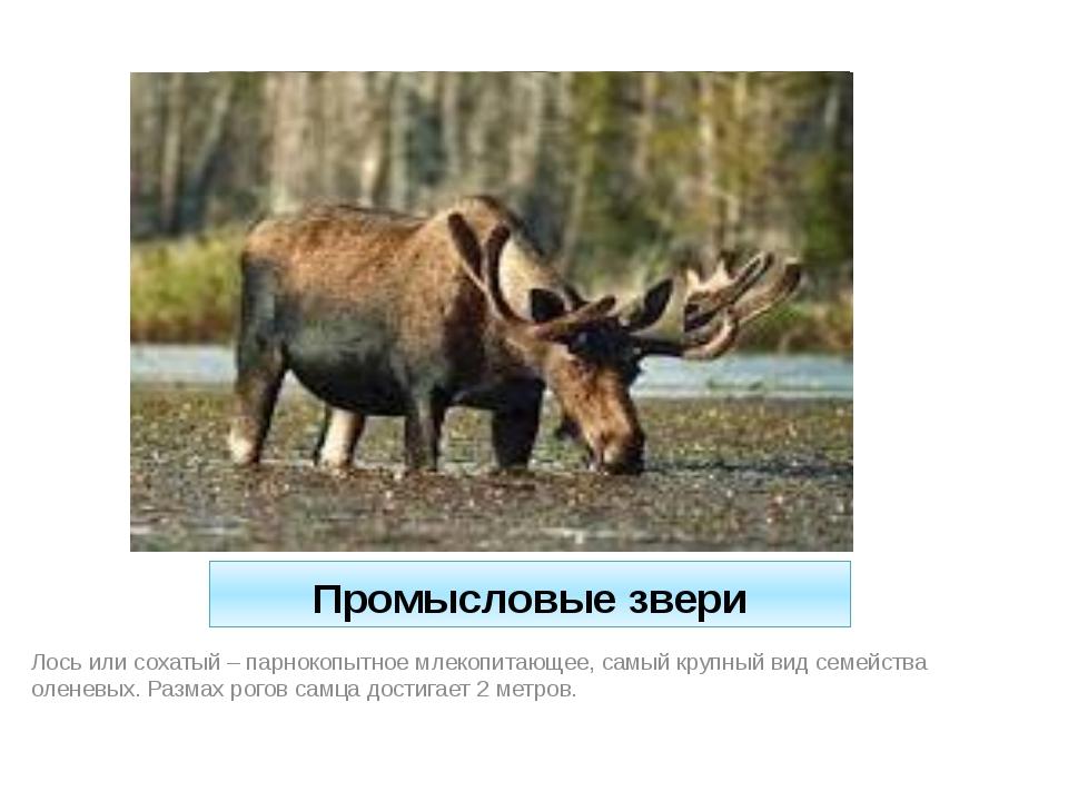 Промысловые звери Лось или сохатый – парнокопытное млекопитающее, самый крупн...