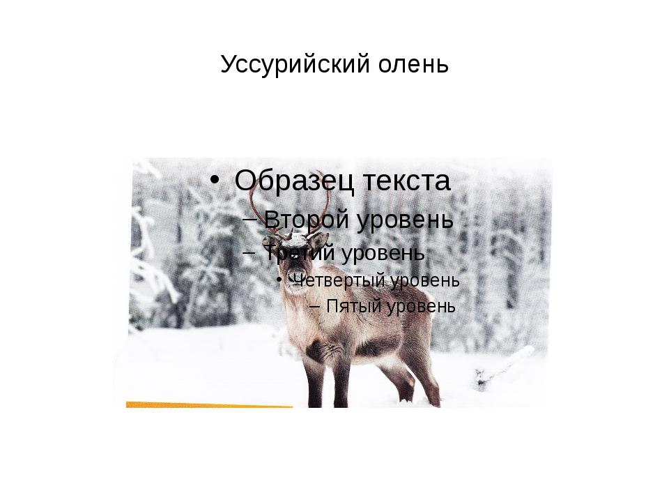 Уссурийский олень