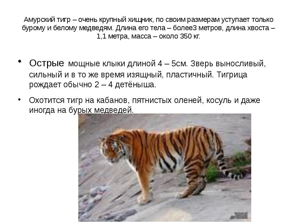Амурский тигр – очень крупный хищник, по своим размерам уступает только буром...