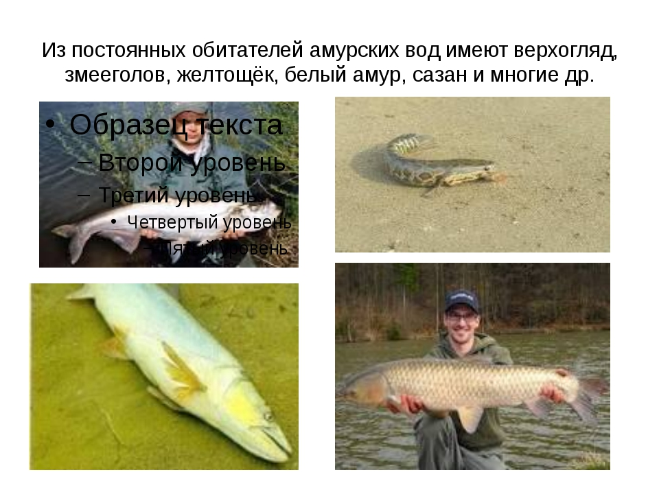 Из постоянных обитателей амурских вод имеют верхогляд, змееголов, желтощёк, б...