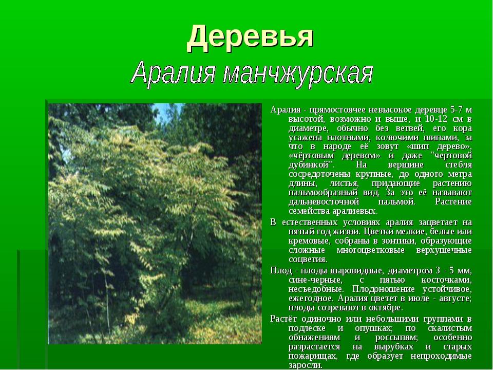 Деревья Аралия - прямостоячее невысокое деревце 5-7 м высотой, возможно и выш...