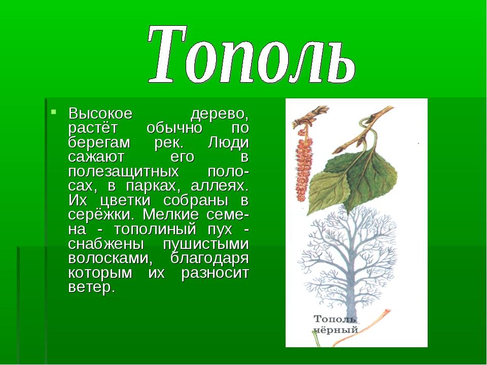Высокое дерево, растёт обычно по берегам рек. Люди сажают его в полезащитных...