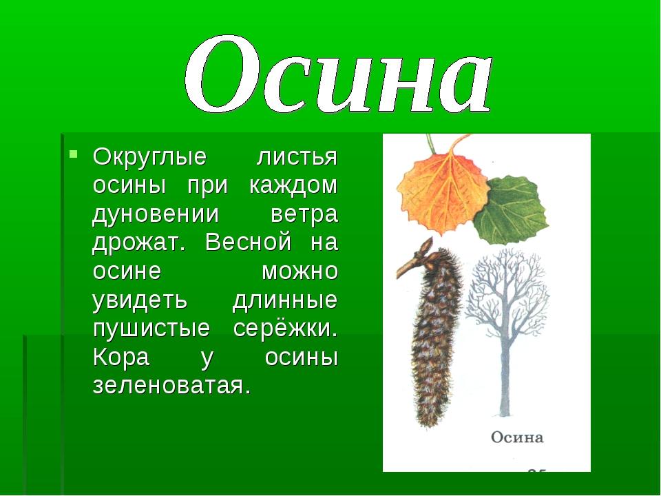 Округлые листья осины при каждом дуновении ветра дрожат. Весной на осине можн...