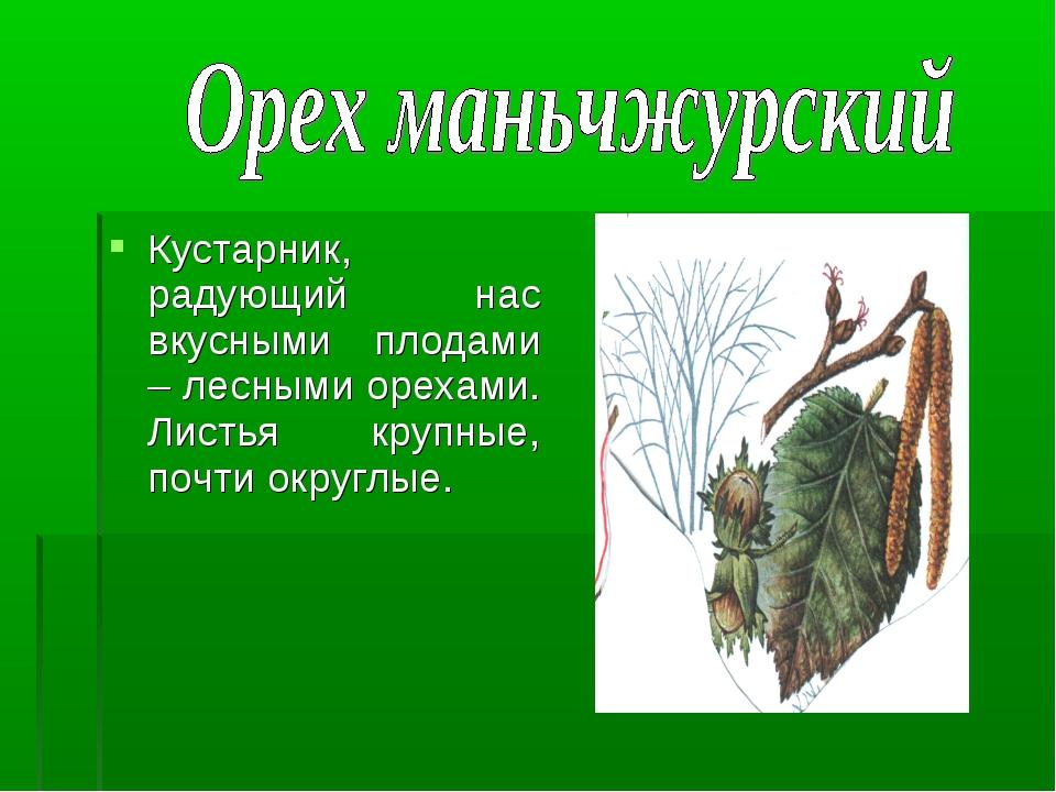 Кустарник, радующий нас вкусными плодами – лесными орехами. Листья крупные, п...