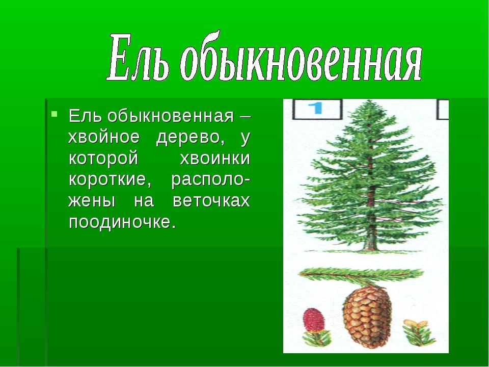Ель обыкновенная – хвойное дерево, у которой хвоинки короткие, располо-жены н...