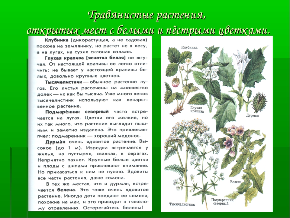 Травянистые растения, открытых мест с белыми и пёстрыми цветками.