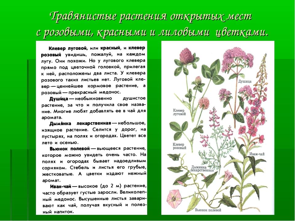 Травянистые растения открытых мест с розовыми, красными и лиловыми цветками.
