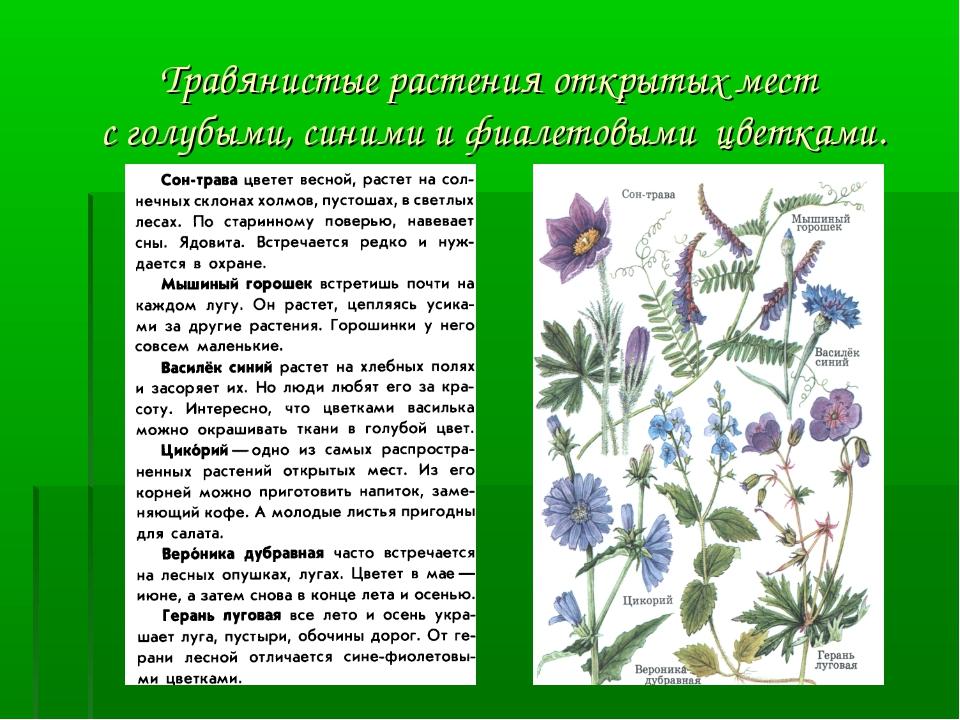 Травянистые растения открытых мест с голубыми, синими и фиалетовыми цветками.