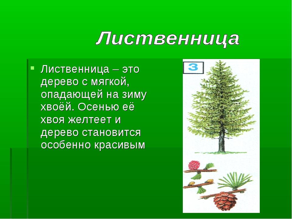 Лиственница – это дерево с мягкой, опадающей на зиму хвоёй. Осенью её хвоя же...