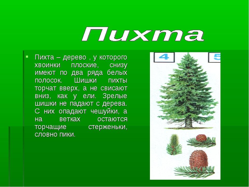 Пихта – дерево , у которого хвоинки плоские, снизу имеют по два ряда белых по...