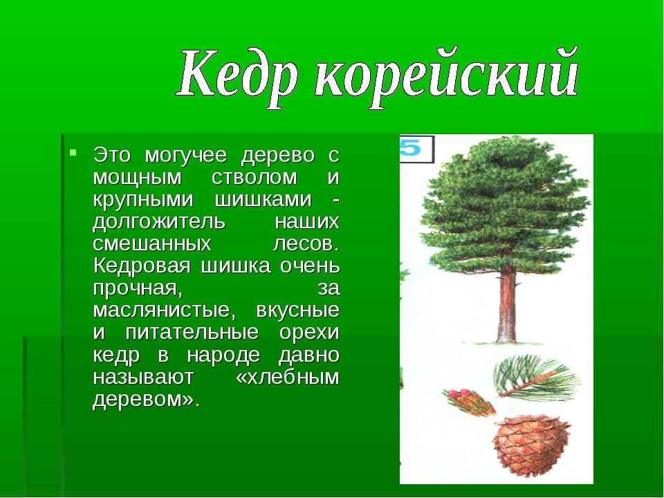 Это могучее дерево с мощным стволом и крупными шишками - долгожитель наших см...