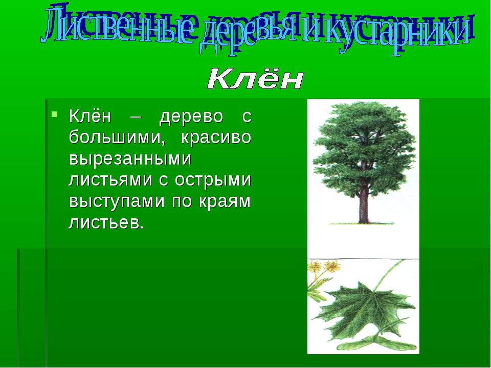 Клён – дерево с большими, красиво вырезанными листьями с острыми выступами по...