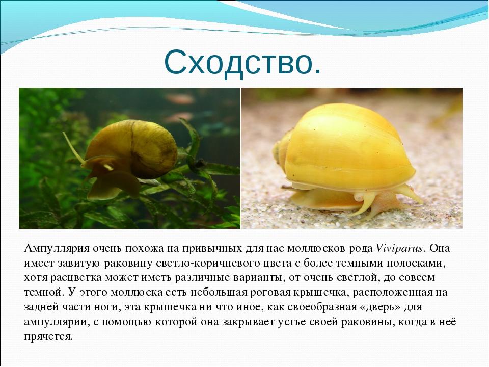 Сходство. Ампуллярия очень похожа на привычных для нас моллюсков рода Vivipar...