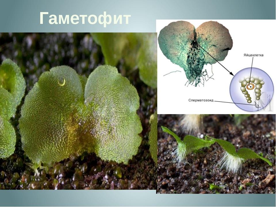 Гаметофит  Гаметофит, называемый заростком - тонкая зеленая пластинка диамет...