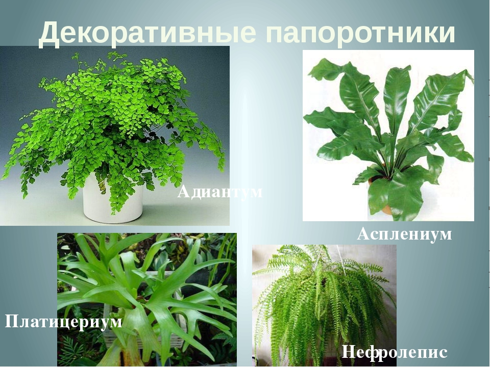 Декоративные папоротники Адиантум Асплениум Платицериум Нефролепис