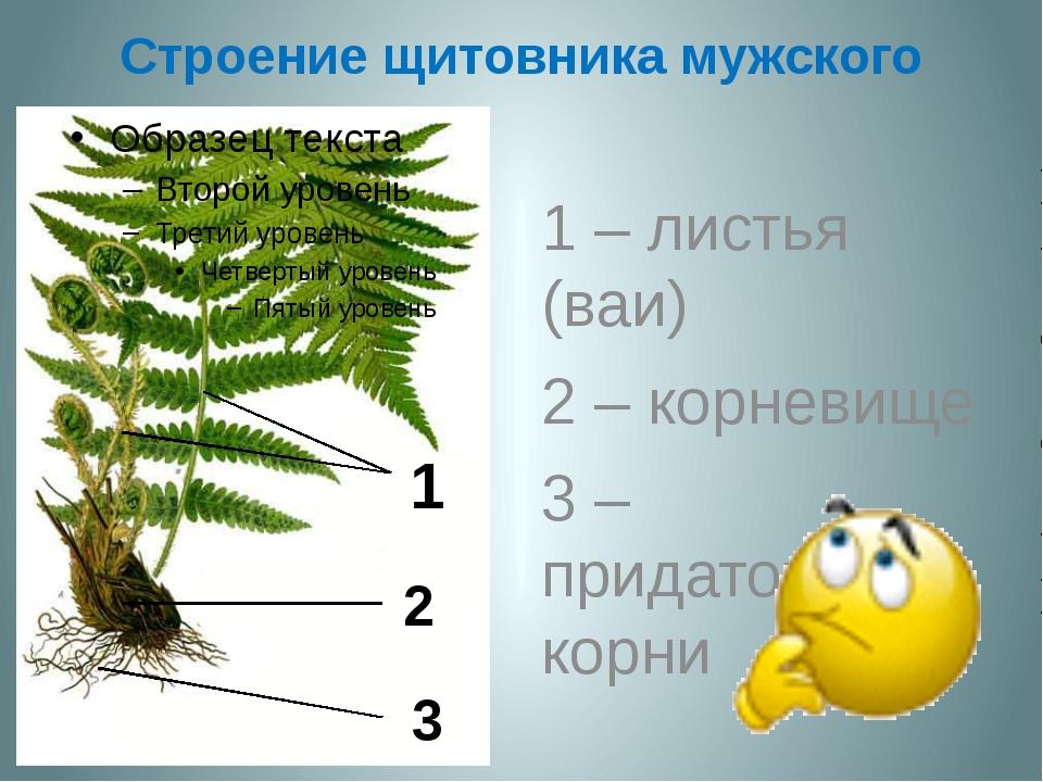 Строение щитовника мужского 1 – листья (ваи) 2 – корневище 3 – придаточные ко...
