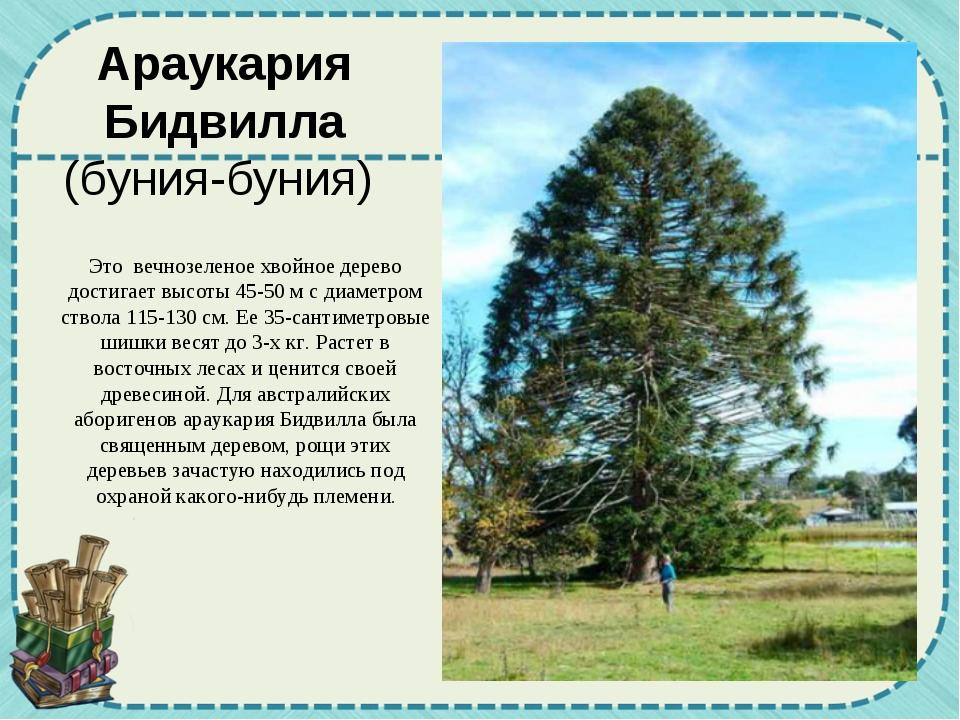 Это вечнозеленое хвойное дерево достигает высоты 45-50 м с диаметром ствола 1...