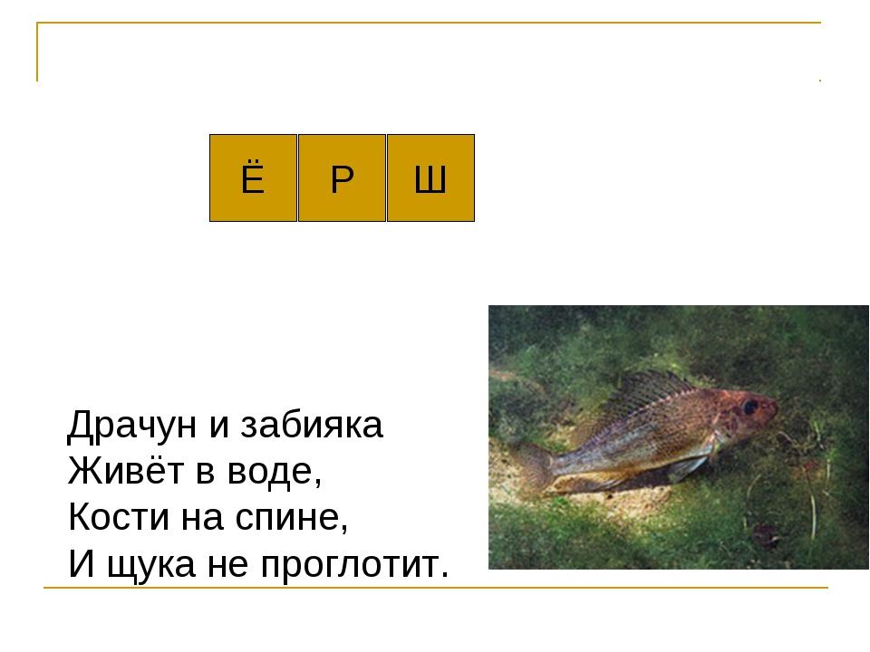 Ё Драчун и забияка Живёт в воде, Кости на спине, И щука не проглотит. Р Ш