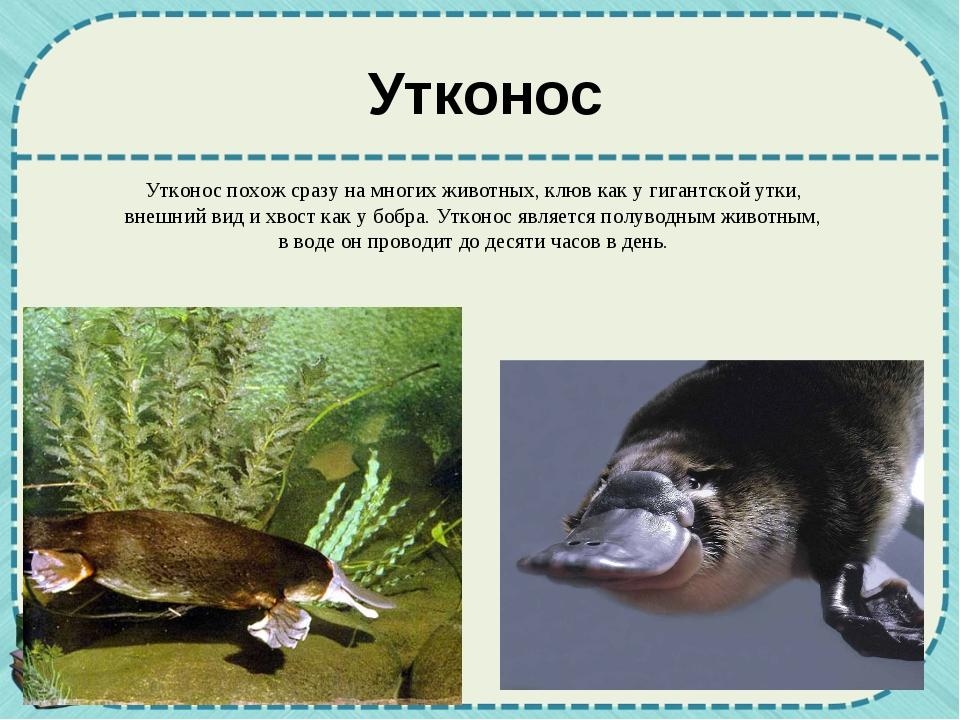 Утконос Утконос похож сразу на многих животных, клюв как у гигантской утки, в...