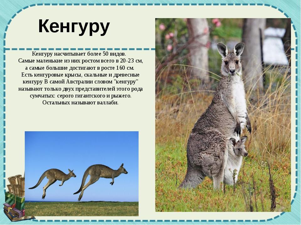 Кенгуру Кенгуру насчитывает более 50 видов. Самые маленькие из них ростом все...