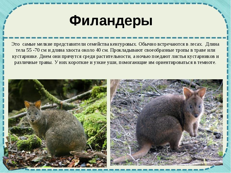 Филандеры Это самые мелкие представители семейства кенгуровых. Обычно встреча...