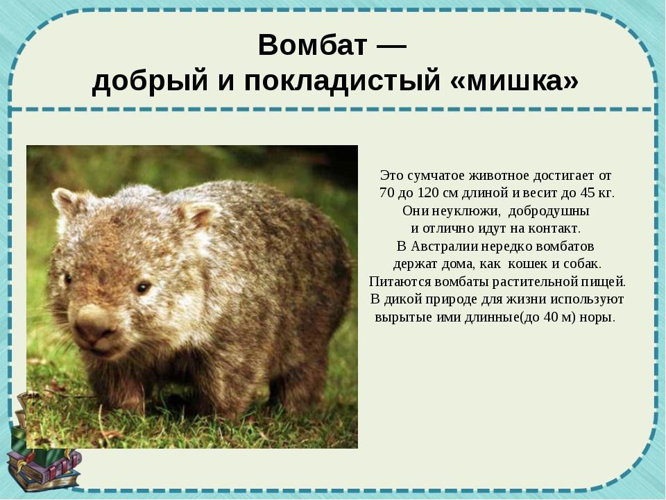 Вомбат — добрый и покладистый «мишка» Это сумчатое животное достигает от 70 д...