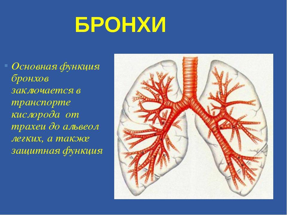 Основная функция бронхов заключается в транспорте кислорода от трахеи до альв...