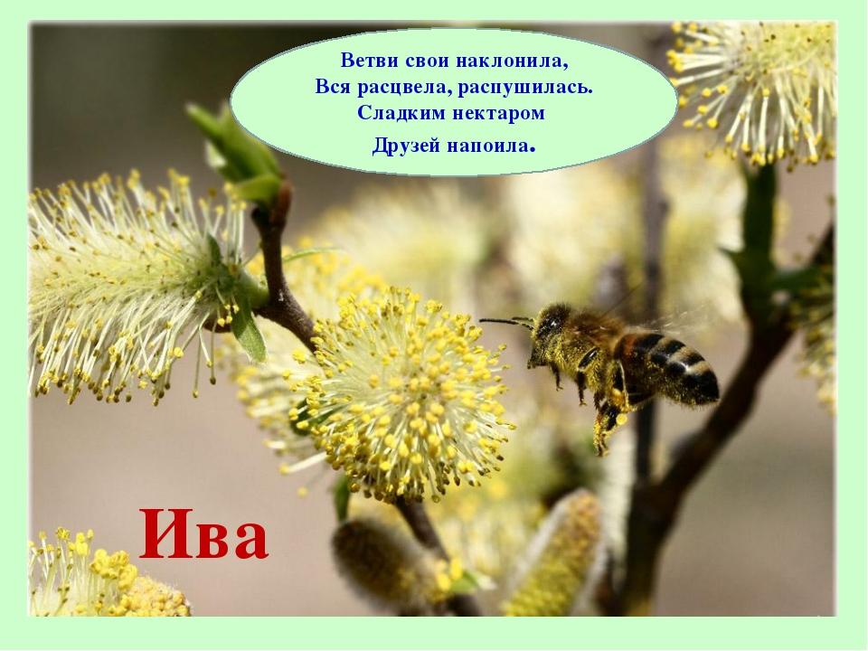 Ива Ветви свои наклонила, Вся расцвела, распушилась. Сладким нектаром Друзей...