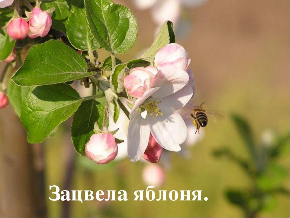 Зацвела яблоня.