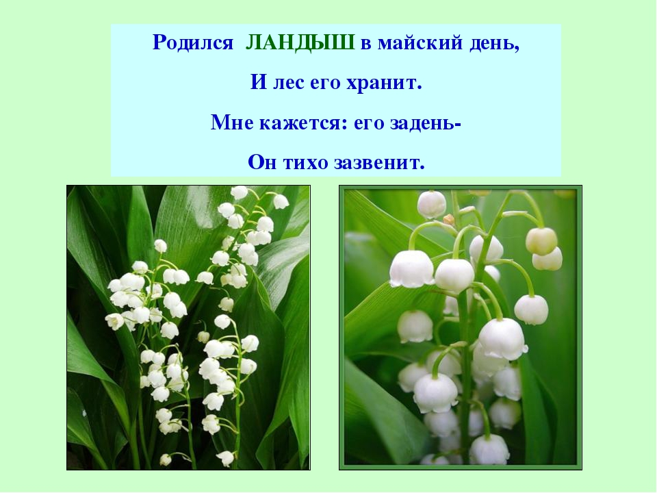 Родился ЛАНДЫШ в майский день, И лес его хранит. Мне кажется: его задень- Он...