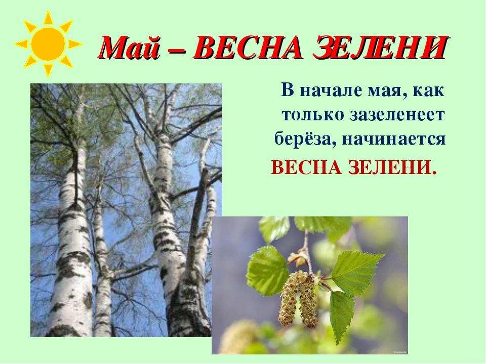 Май – ВЕСНА ЗЕЛЕНИ В начале мая, как только зазеленеет берёза, начинается ВЕ...
