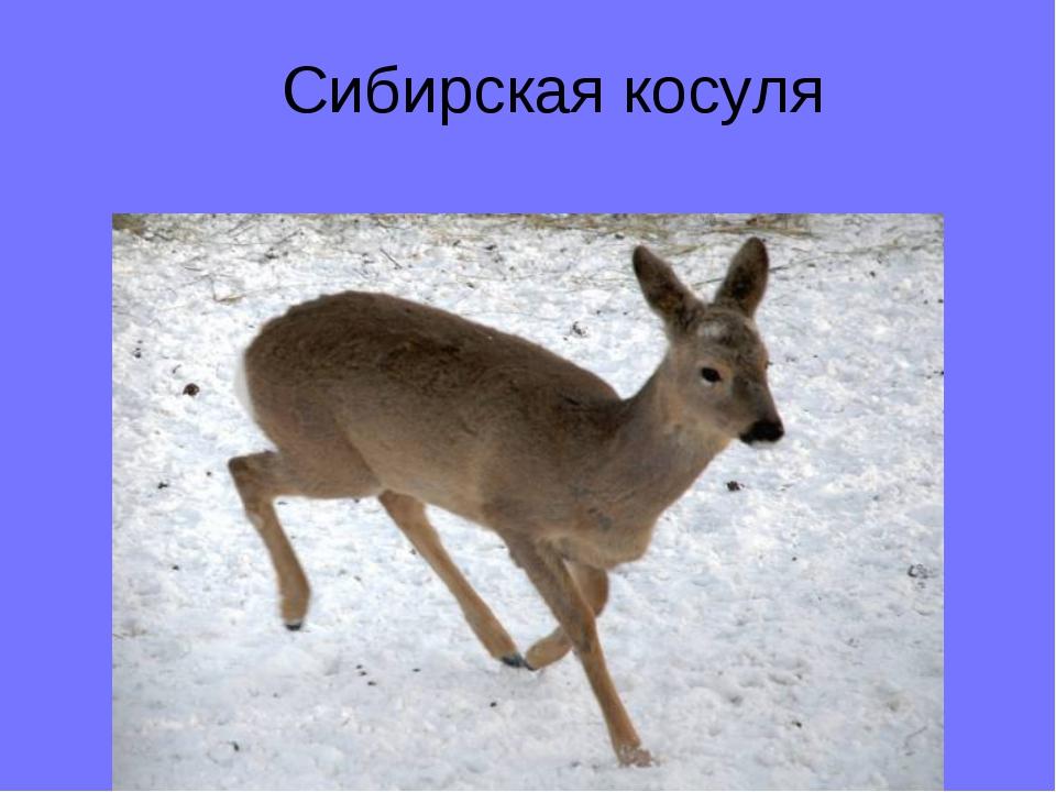 Сибирская косуля