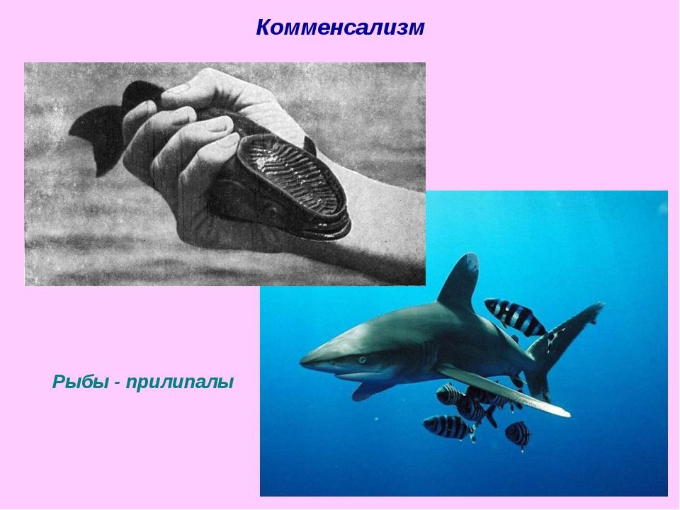Рыбы - прилипалы Комменсализм