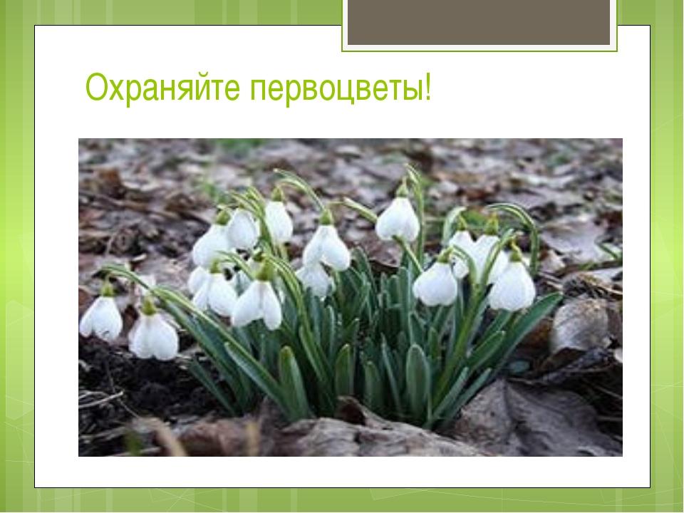 Охраняйте первоцветы!