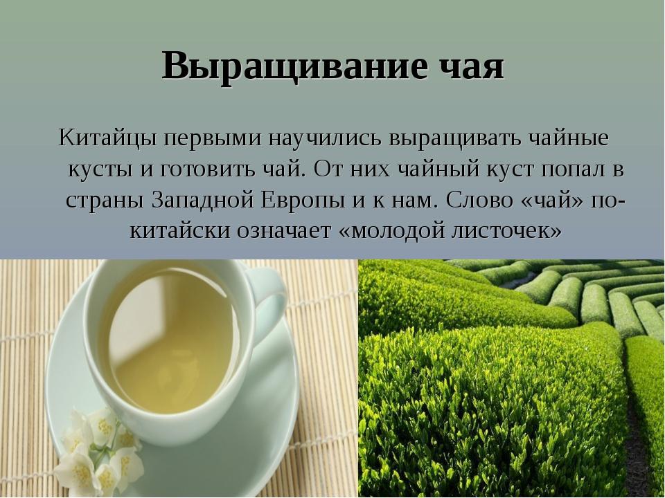 Выращивание чая Китайцы первыми научились выращивать чайные кусты и готовить...
