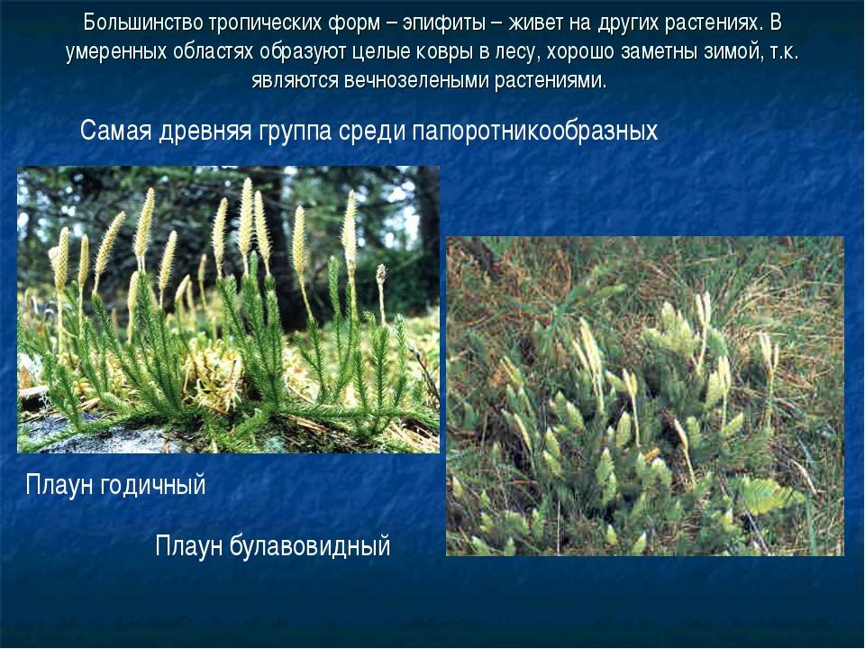 Большинство тропических форм – эпифиты – живет на других растениях. В умеренн...