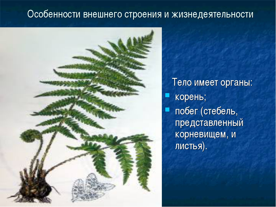 Особенности внешнего строения и жизнедеятельности Тело имеет органы: корень;...