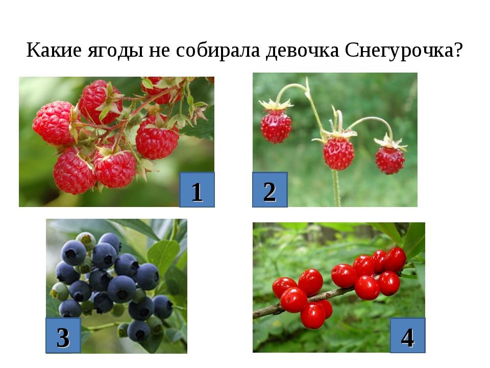 Какие ягоды не собирала девочка Снегурочка? 1 2 3 4