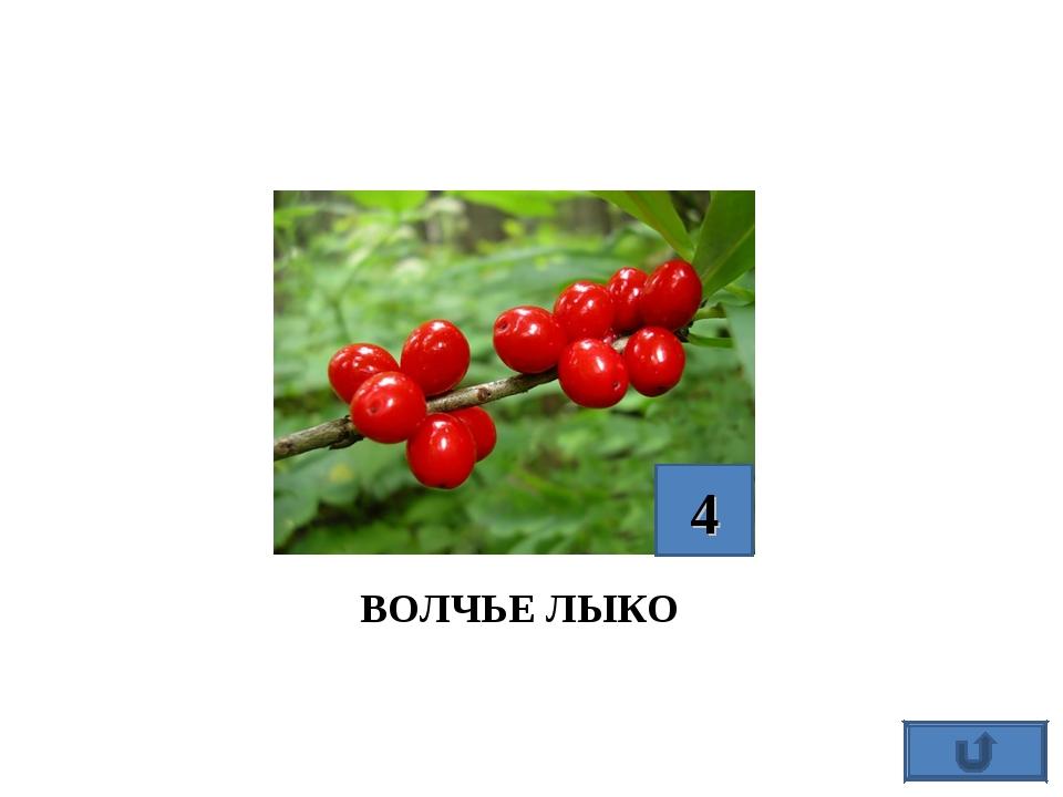 ВОЛЧЬЕ ЛЫКО 4