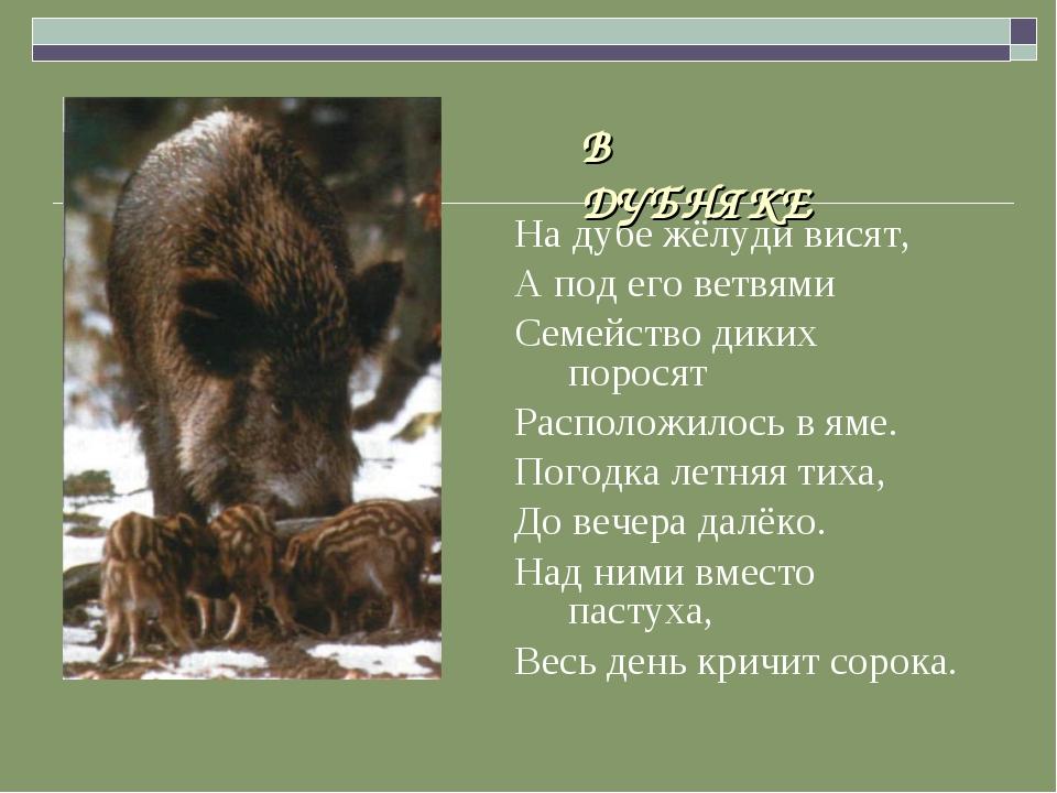 На дубе жёлуди висят, А под его ветвями Семейство диких поросят Расположилос...