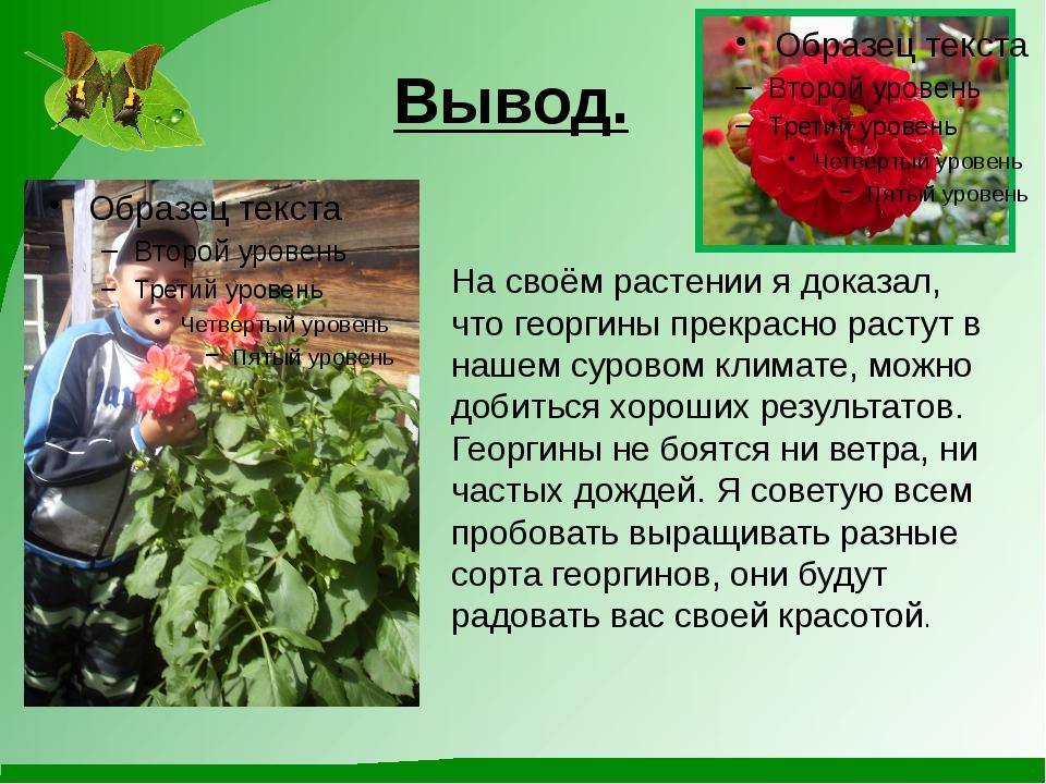 Вывод. На своём растении я доказал, что георгины прекрасно растут в нашем сур...