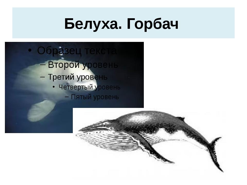 Белуха. Горбач