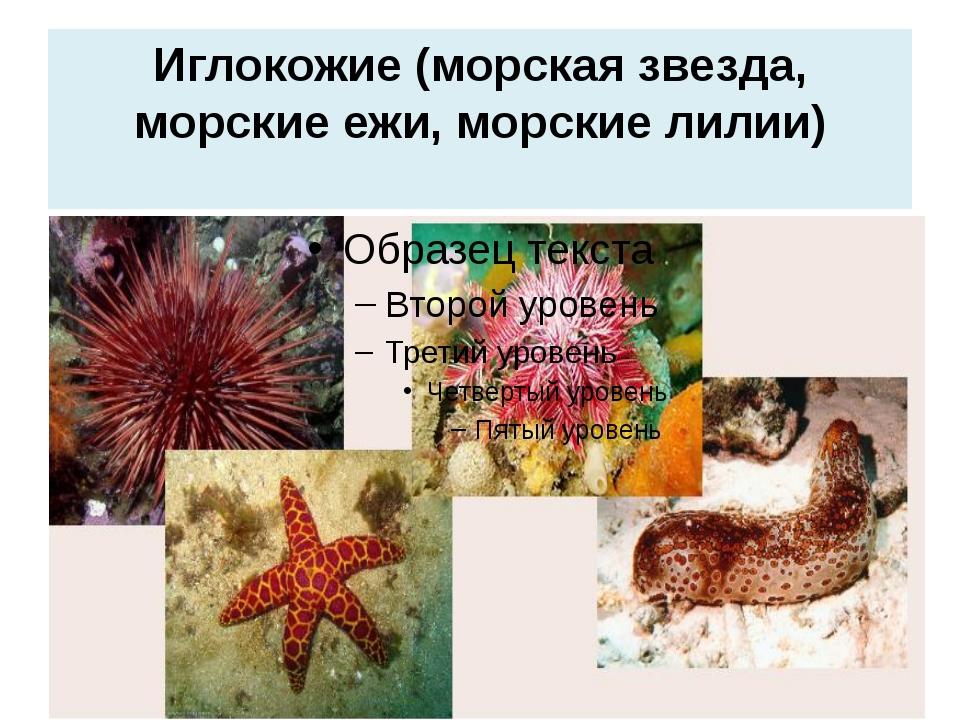 Иглокожие (морская звезда, морские ежи, морские лилии)
