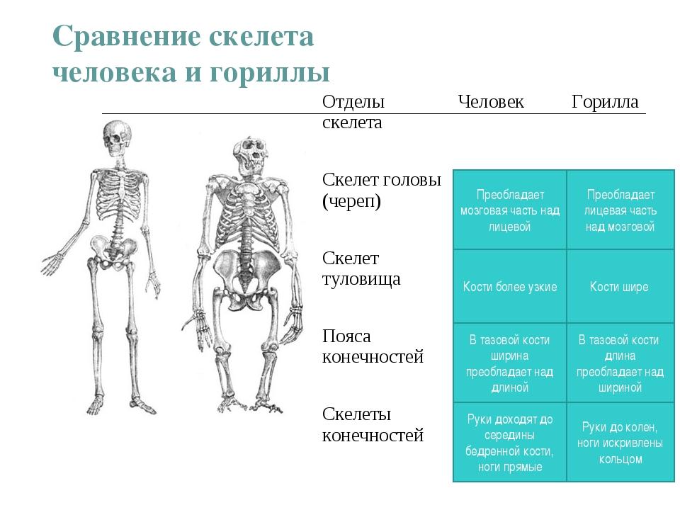 Сравнение скелета человека и гориллы Преобладает мозговая часть над лицевой В...