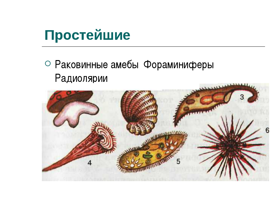 Простейшие Раковинные амебы Фораминиферы Радиолярии