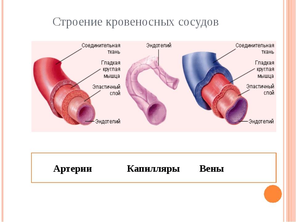 Строение кровеносных сосудов Артерии Капилляры Вены